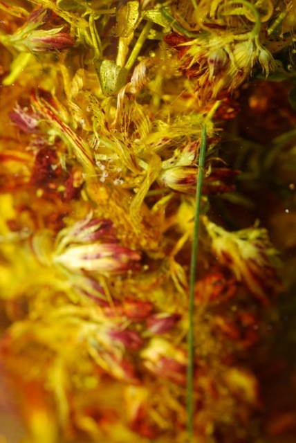 Dried St. John's wort flowers