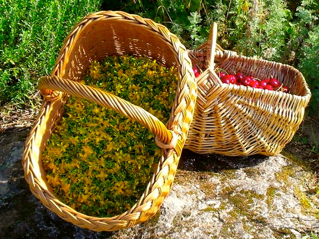 Basket with harvested St. John's Wort